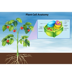 Anatomy plant cell vector image