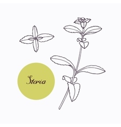Hand drawn stevia branch with leaves isolated on vector image
