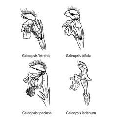 galeopsis flowers botanical vector image vector image
