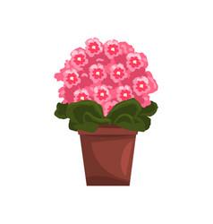 flowering pink violet indoor house plant in brown vector image vector image