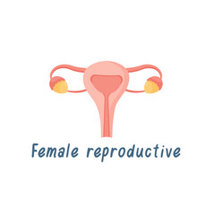 female reproductive system internal organs human vector image