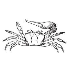 fiddler crab vintage vector image