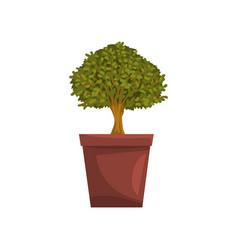 Portulacaria indoor house bonsai tree in brown pot vector