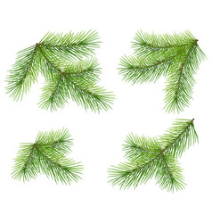 set green pine branch isolated on white lush vector image