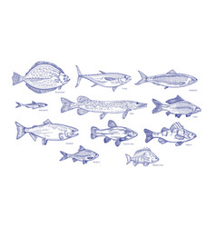 Collection of fish hand drawn with blue contour vector