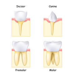 Types teeth from canine and incisor to molar vector