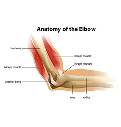 Anatomy human elbow vector