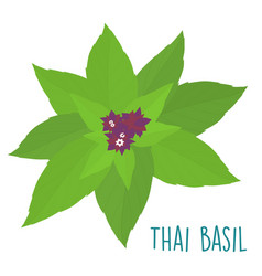 Essential ingredient fresh thai basil leaf vector