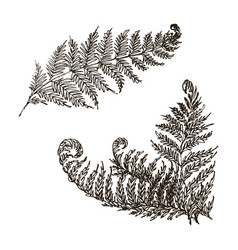 Fern set hand drawn botanical vector