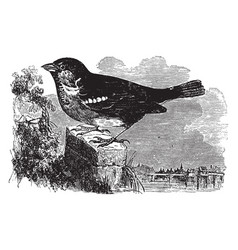 common sparrow of europe vintage vector image