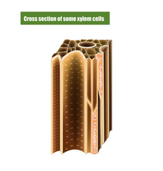 cross section some xylem cells vector image