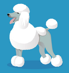 Standart poodle white cartoon dog vector