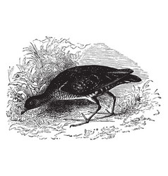 Common american carolina rail vintage vector