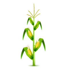 growing corn plant isolated on white vector image