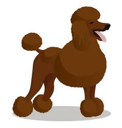 Standart poodle white cartoon dog vector