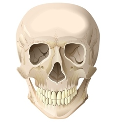 Realistic human skull vector