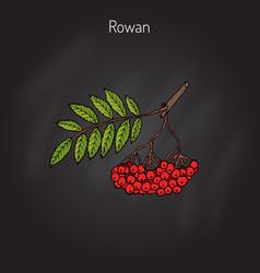 Rowan or mountain-ash vector