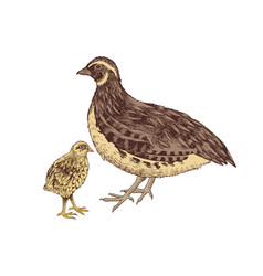 hand drawn quail familie vector image