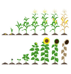 Corn plant and sunflower plant growing stages vector