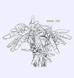 banana tree leaf sketching vector image