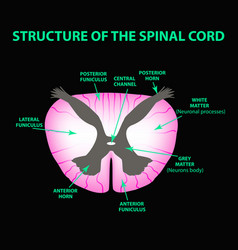 the structure of the spinal cord infographics vector image