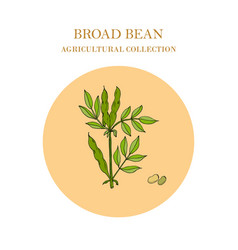 Broad beans or fava beans hand drawn vector