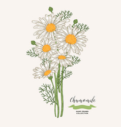 Chamomile flowers rustic bouquet design hand vector