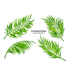 tropical chamaedorea leavesset plants isolated vector image
