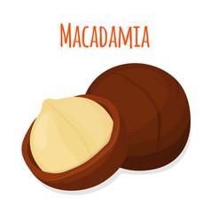 organic macadamia nut oil flat style vector image