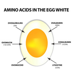 amino acids in egg white infographics vector image