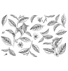 hand drawn set tea plant branches leaves and vector image