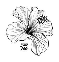 Hawaiian hibiscus fragrance flower or mallow rose vector