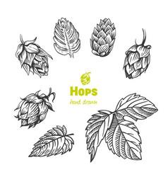 Hops hand drawn vector