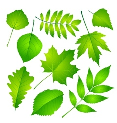 Green leaves set Eps 10 vector