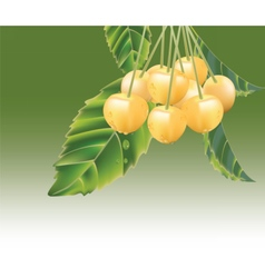 Fresh Yellow cherries vector image