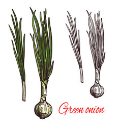 green onion leek or scalion vegetable sketch vector image