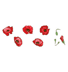 Red poppies isolated on white background buds and vector
