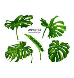 Tropical monstera leavesset plants isolated on vector