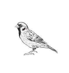 sparrow sketch hand drawing sketch vector image vector image