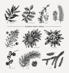 evergreen trees and shrubs collection vintage chr vector image