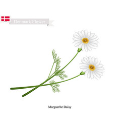 Marguerite daisy the national flower of denmark vector