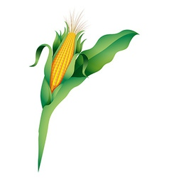 A corn vector image vector image
