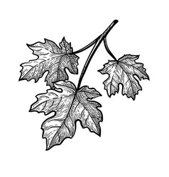 ink sketch maple branch vector image