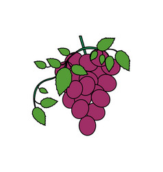 White background with colorful bunch of grapes vector