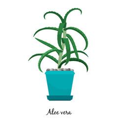 aloe vera plant in pot icon vector image