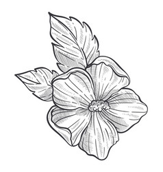 Hibiscus flower sketch wild plant pencil drawing vector
