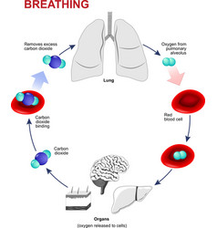 Respiration or Breathing vector image vector image