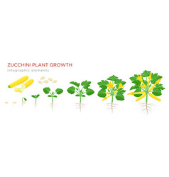 Zucchini plant growth from seed sprout flowering vector