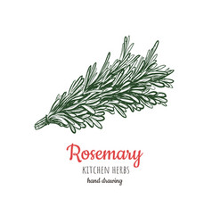 rosemary sketch style vector image