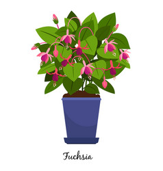 fuchsia plant in pot vector image